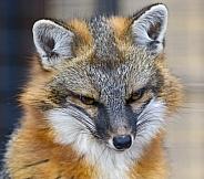 Head shot of a red fox