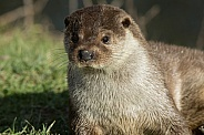 Female Eurasian Otter