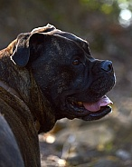 Boxer x Bullmastiff Dog