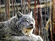 Canadian Lynx lying down