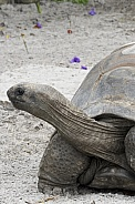 longneck tortoise