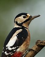 Great Spotted Woodpecker (female)