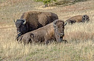 Bison in the Porcupine Hills
