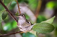 Nesting Hummingbird (Female)