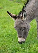 Grazing Miniature Donkey