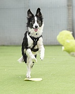 Border Collie Playing