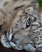 Spirit of the Mountain- Snow Leopard