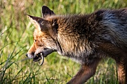 Fox with a sand lizard it just caught