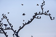 Flock of Quelea Birds - Namibia