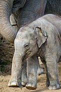 Asian Elelephants