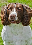 Springer Spaniel - close up