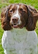 Springer Spaniel - close up