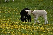 Black & White Lambs