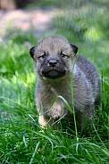 hudson bay wolf pups