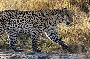 Young female Leopard - Botswana