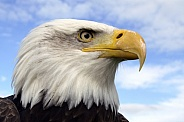 North American Bald Eagle - USA