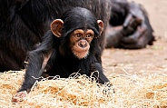 Baby Chimpanzee Sitting Looking Away