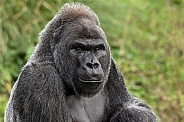 Silverback Western Lowland Gorilla Head Shot Looking Forward