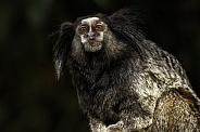 Black Tufted Marmoset Full Body