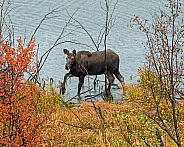 Moose Calf leaving Sawmill Pond