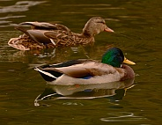 Mallard Duck - male & female