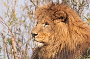 Male African Lion Side Profile Close Up