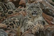 Snow Leopard resting on rocks.