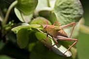 Katydid (Juvenile)
