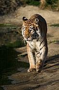 High Five. Indian Tigress