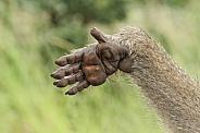 Chacma Baboon Hand