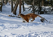 Siberian tiger (Please note not detailed)