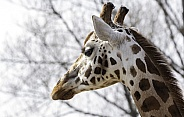 Rothchild's Giraffe Head Shot Looking Away