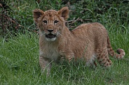 Lion Cub Standing Up Facing Forwards