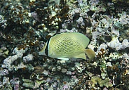 Speckled Butterfly Fish