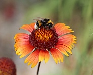 Bumblebee On Blanket Flower