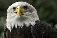 Bald Eagle Face Close Up