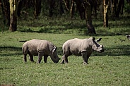 White Rhino Calves