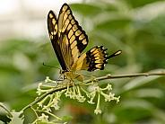 Swallowtail Butterfly