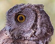 Western Screech Owl Portrait