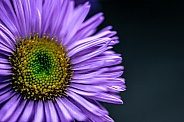 Flower - Erigeron 'Rosa Juwel'