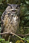 Eurasian Eagle Owl - (Bubo bubo)