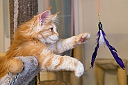 Ginger Cat Playing With Feathers