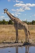 Giraffe - Savuti region of Botswana