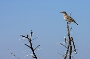 African Pipit - Namibia