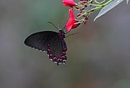 Montezuma's Cattleheart Butterfly