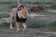 Wild Male lion in Kgalagadi