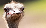 Ostrich Face Shot Close Up