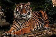 Sumatran Tiger Lying Down