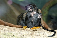 Red-handed Tamarin Mother with Baby