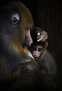 Mandrill and Baby